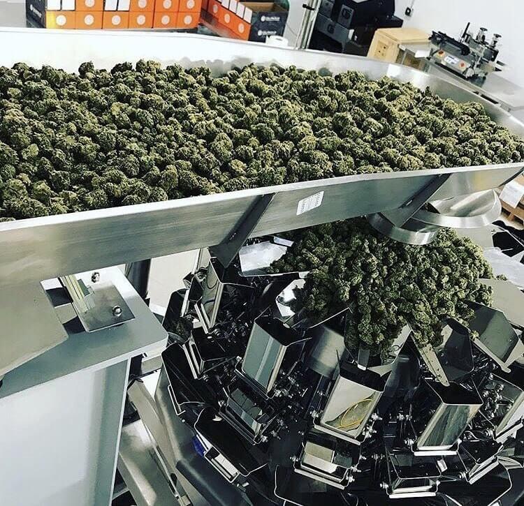 Cannabis multi head weigh filling machine